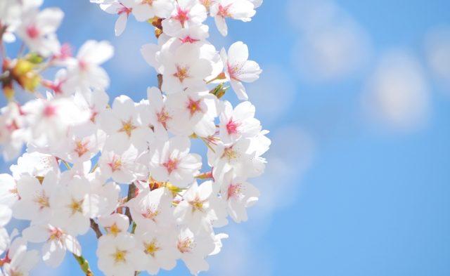 さくらの開花予想